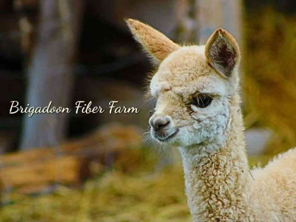 Shop alpacas clothing natural fiber Brigadoon Fiber Farm Hoyt New Brunswick Ulocal local product local purchase local product