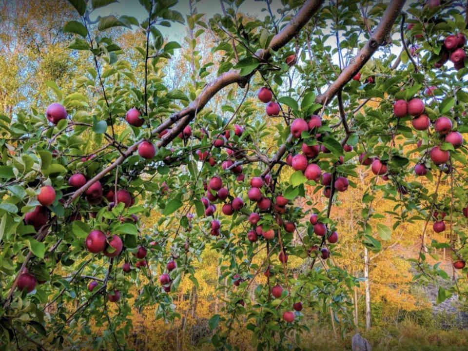 Autocueillette pommes Doucette's U-Pick Apple Orchard Nouveau-Brunswick Ulocal produit local achat local