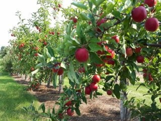 Autocueillette pommes Everett Family Orchard Fredericton NB Canada Ulocal produit local achat local