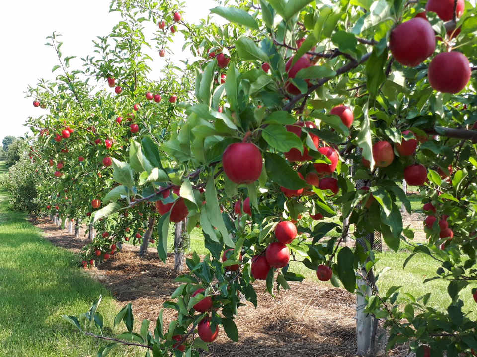 U-Pick Everett Family Orchard Fredericton NB Canada Ulocal Local Product Local Purchase