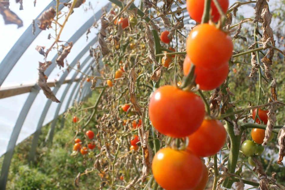 Marché de fruits et légumes biologiques Ferme Alva Farm Saint-Maurice NB Canada Ulocal produit local achat local produit terroir