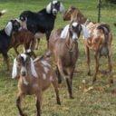 Savon lait de chèvre cosmétiques naturels Kizzy-Vila Goat Soaps Belledune NB Canada Ulocal produit local achat local