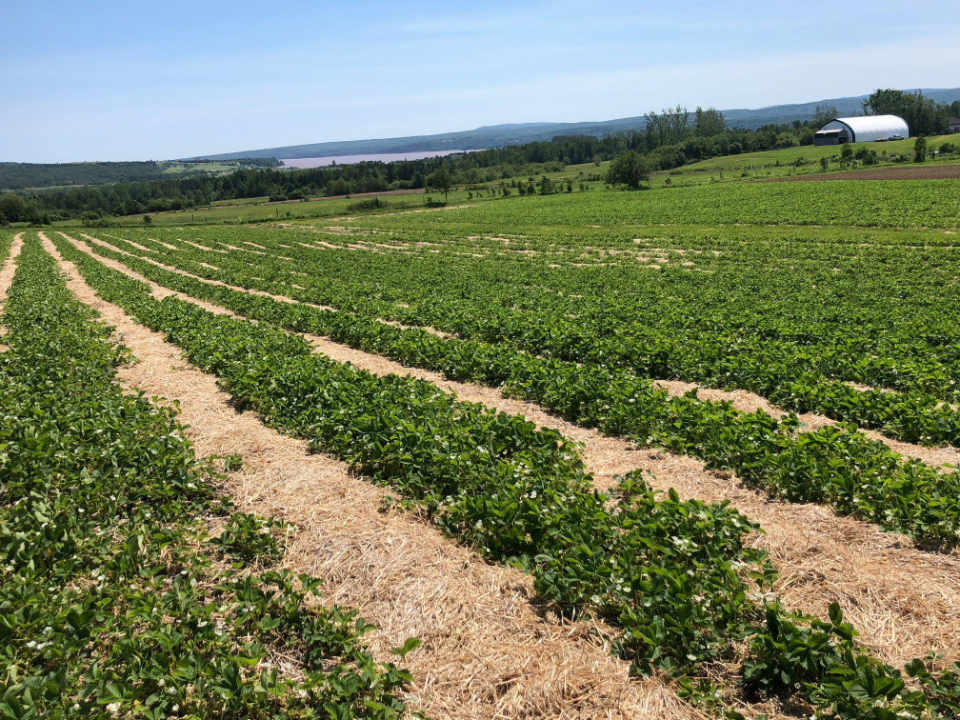 U-pick Strawberries Fruits and Vegetables The Meadow Fruits of Upper Memramcook New Brunswick local purchase local product