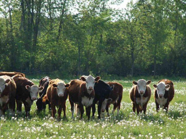 Vente de viande boeufs Littledown Farms Stitsville Ontario Canada Ulocal produit local achat local