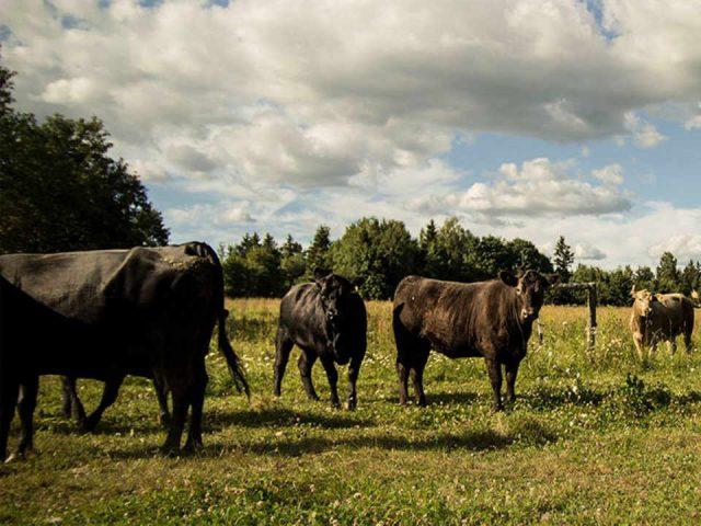 Vente de viandes écologiques Local Valley Beef Fredericton Nouveau-Brunswick Ulocal produit local achat local produit terroir