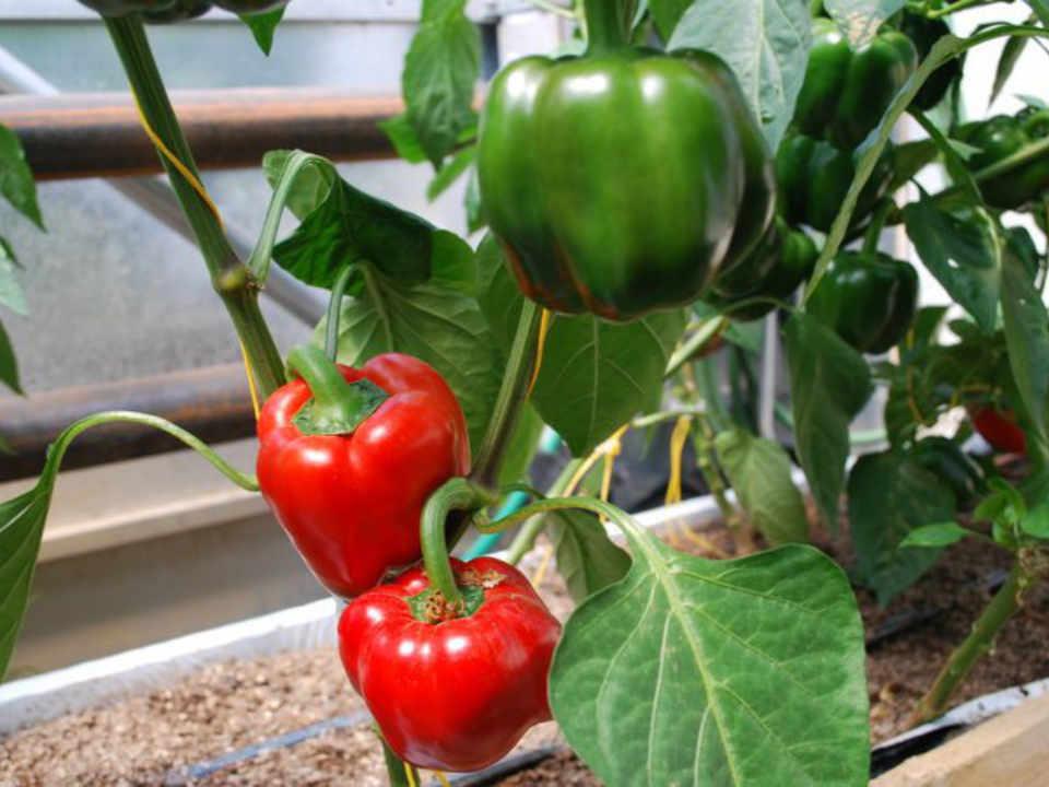 Organic Vegetables M. Tomato Rogersville New Brunswick Ulocal Local Product Local Product Local Product