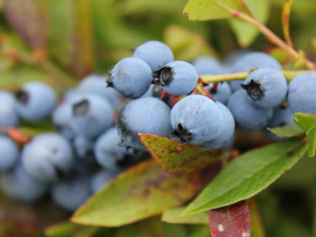 Blueberry fruit bakery feed McKay's Wild Blueberries Pennfield New Brunswick Ulocal Local Product Local Purchase