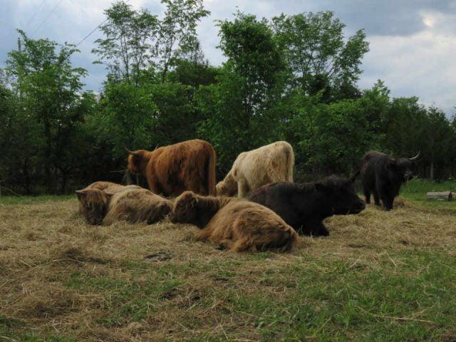 Vente de viande boeufs Moonlight Crofters Organic Farm Douglas Ontario Canada Ulocal produit local achat local