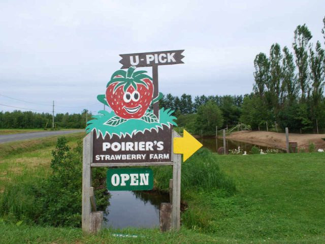 Strawberry picking strawberry Strawberry Farm Saint-Édouard-de-Kent New Brunswick Ulocal local product local purchase