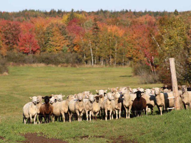 Vente de viandes écologiques ferme fruits et légumes Portage Pork Plus Botsford Portage Nouveau-Brunswick Ulocal produit local achat local