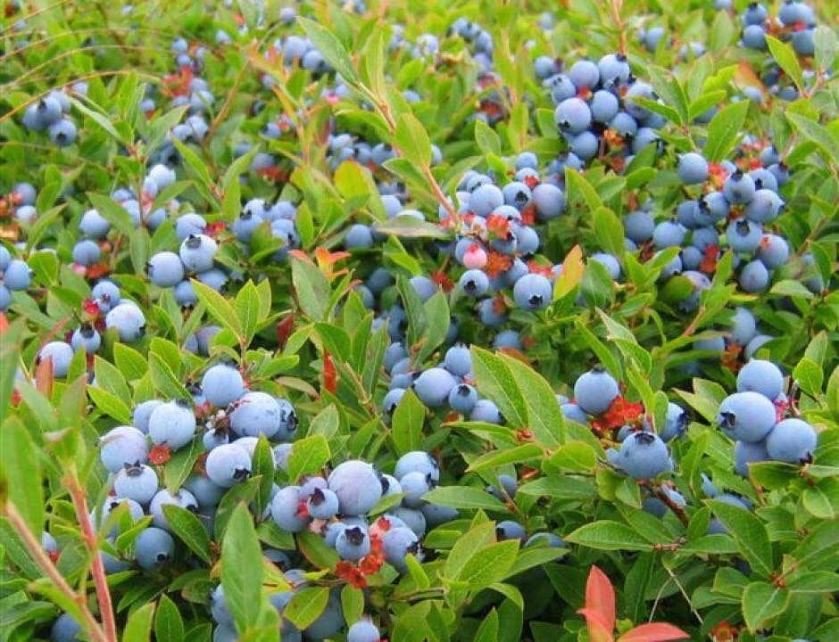 Blueberry Pick-Ups Printz Cove Wild Blueberries Fredericton Ulocal Local Product Local Purchase