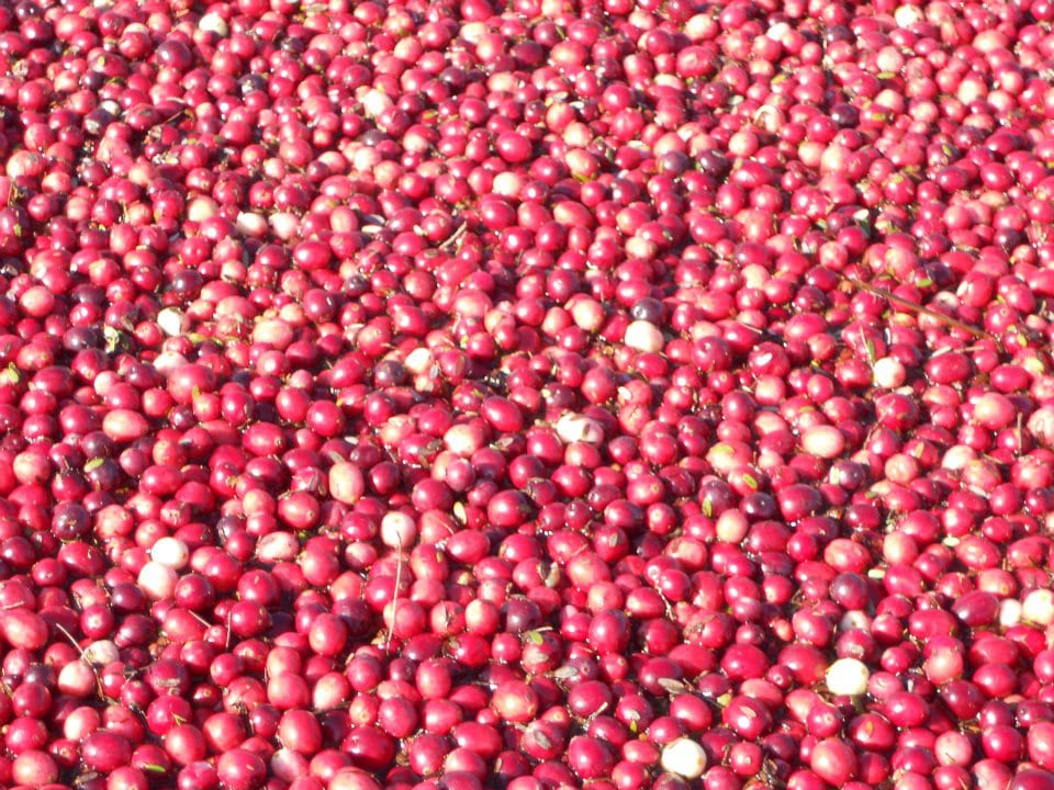 Organic cranberry farm Springbrook Cranberry Inc. Tracy New Brunswick Ulocal local product local purchase local product