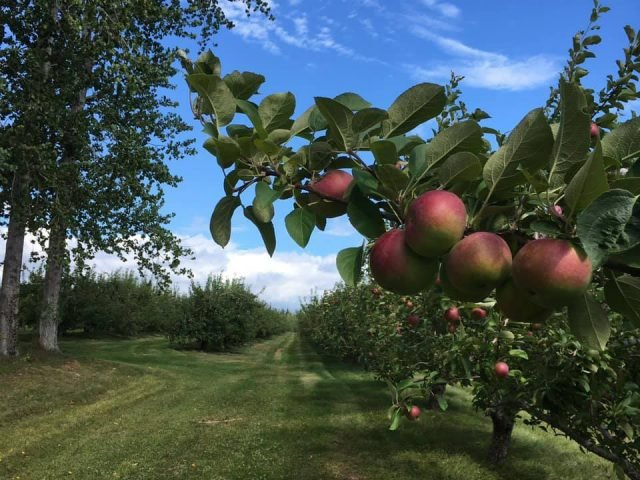 U-pick apples and pumpkins farm Uris Williams & Sons Ltd. Saint-Antoine New Brunswick Ulocal local product local purchase