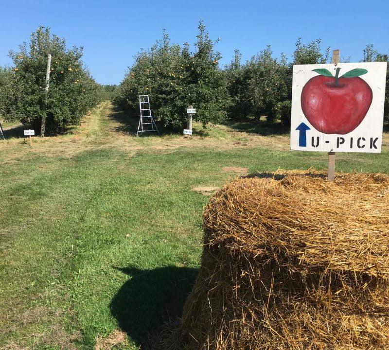 autocueillette pommes et citrouilles ferme Uris Williams & Sons Ltd Saint-Antoine Nouveau-Brunswick Ulocal produit local achat local