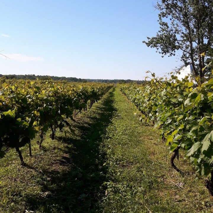 Vineyard vineyard Domaine Perrault Winery Ottawa Ontario Canada Ulocal local product local purchase