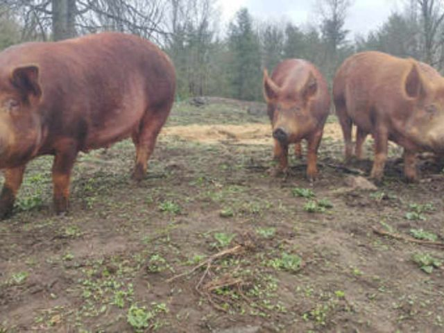 Produce Market pigs Ravensfield Maberly Ontario Canada Ulocal Local Product Local Purchase
