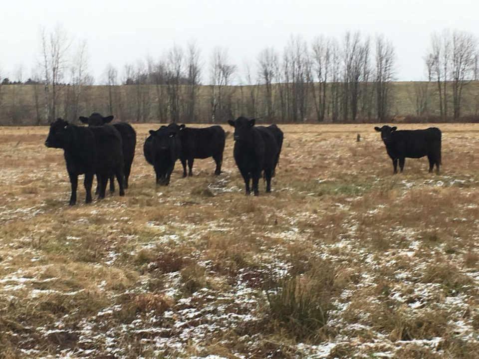 Vente de viande boeufs Rolling Acres Farms Shawville Québec Canada Ulocal produit local achat local