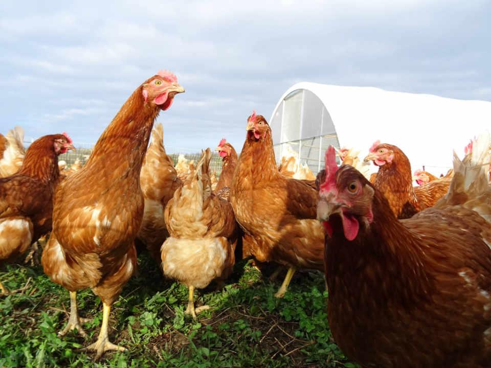 Marché de fruits et légumes poules Salt of the Earth Farm Kingston Ontario Canada Ulocal produit local achat local