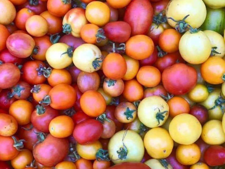 Fermier de famille tomates Snapping Turtle Farm Cranbury Township New Jersey États-Unis Ulocal produit local achat local