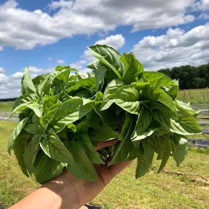 Fermier de famille basilic Snapping Turtle Farm Cranbury Township New Jersey États-Unis Ulocal produit local achat local