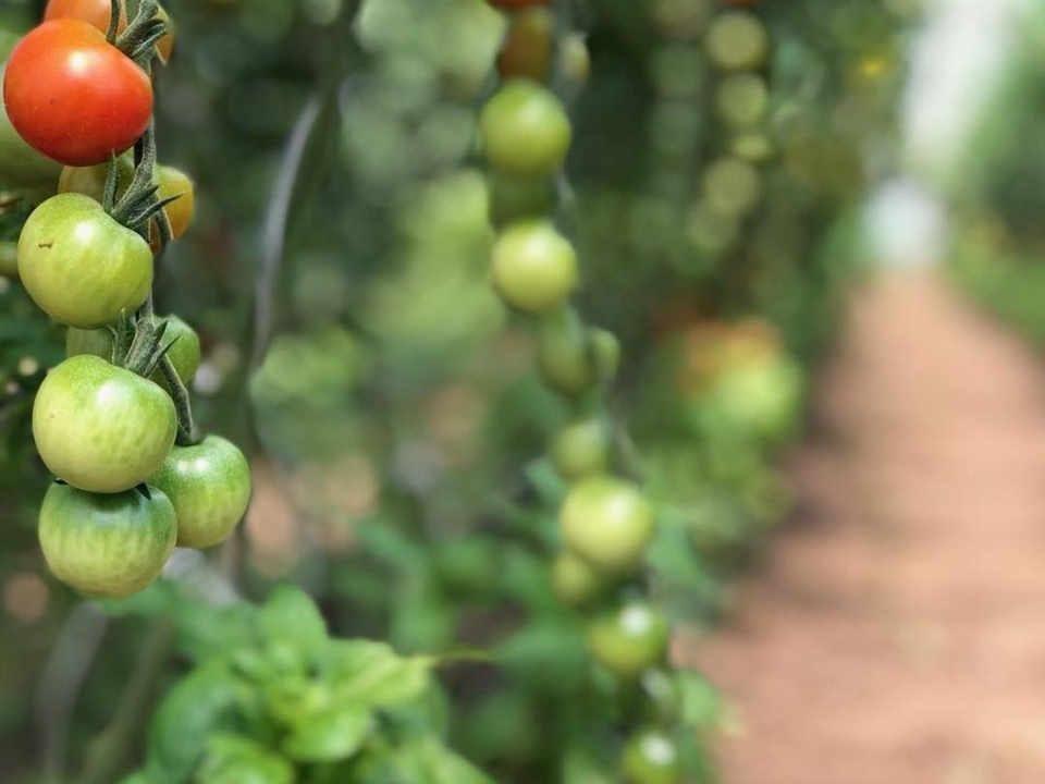 Fermier de famille tomates Terramor Farm Renfrew Ontario Canada Ulocal produit local achat local