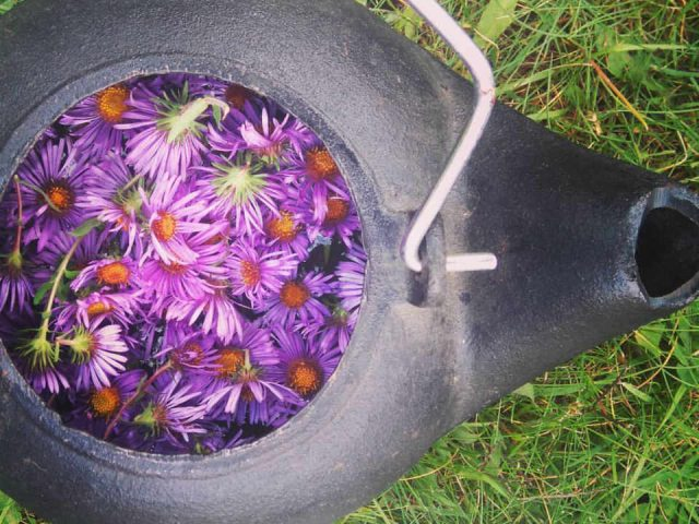 Family Farmer New England aster flower tea The Wild Garden Gloucester Ontario Canada Ulocal Local Product Local Purchase