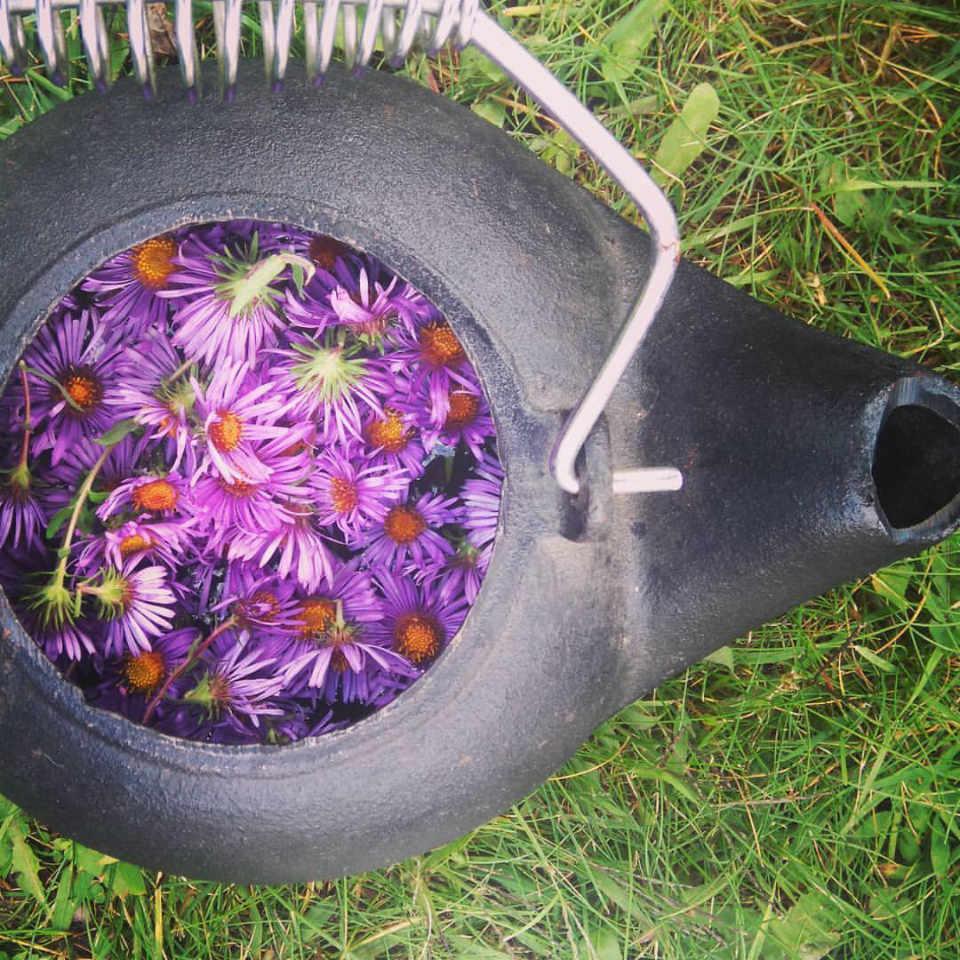 Family Farmer New England aster flower tea The Wild Garden Gloucester Ontario Canada Ulocal Local Product Local Purchase