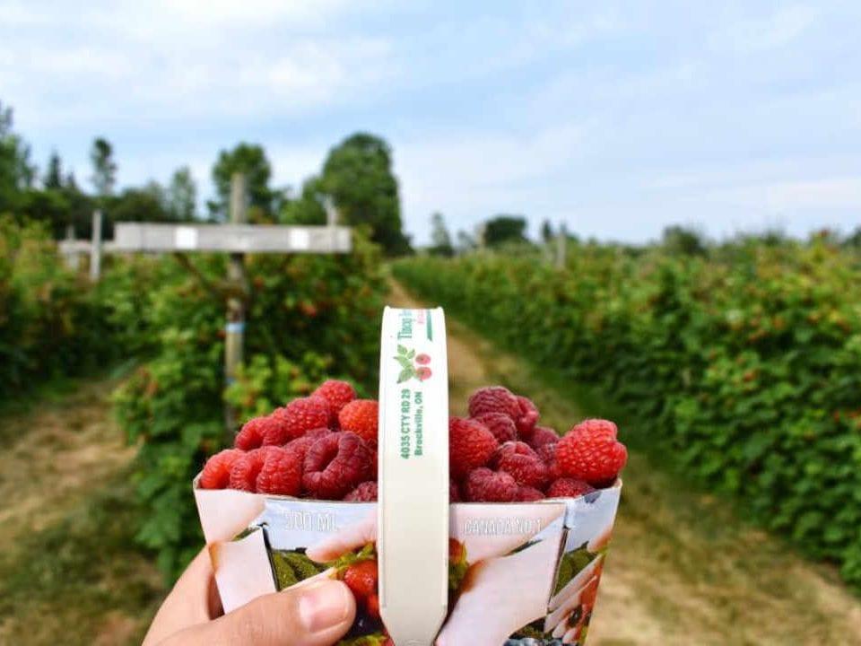 Marché de fruits et légumes framboises Tincap Berry Farm Brockville Ontario Canada Ulocal produit local achat local