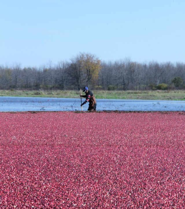 Produce Market cranberries field Upper Canada Cranberries Osgoode Ontario Canada Ulocal Local Product Local Purchase