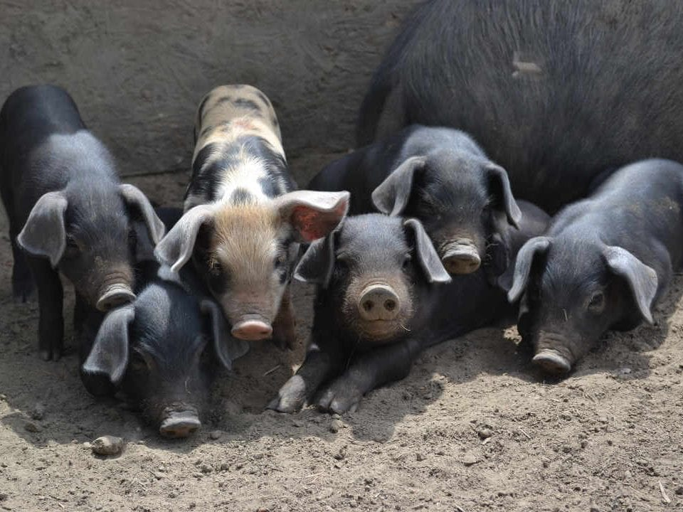 Vente de viande porc noir Upper Canada Heritage Meat Elizabethtown-Kitley Ontario Canada Ulocal produit local achat local