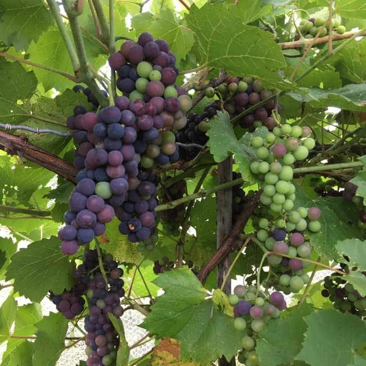 Vignoble raisins Vignoble Clos du Vully Navan Ontario Canada Ulocal produit local achat local