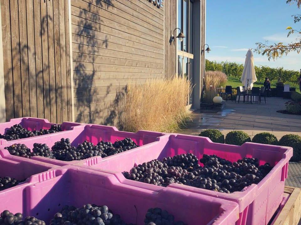 vignoble récolte raisins organique terrasse benjamin bridge windsor nouvelle-écosse canada ulocal produits locaux achat local produits du terroir locavore touriste