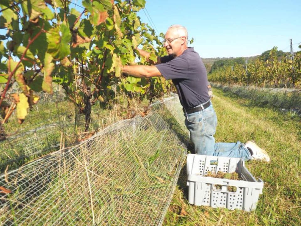 vineyard food liquor organic winery grapes trees plantation man working field prestige brut sparkling vintage cuvee rose alchemy passito red estate star l'acadie vineyards wolfville nova scotia canada ulocal local products local purchase local produce locavore tourist