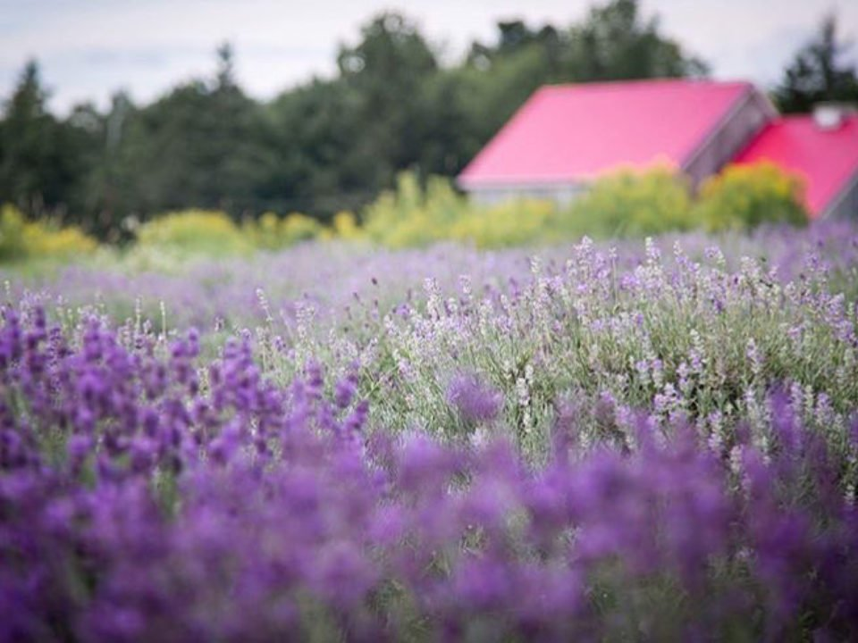 microbreweries family farm lavender flower meander river farm and brewery Ashdale nova scotia canada ulocal local products local purchase local produce locavore tourist