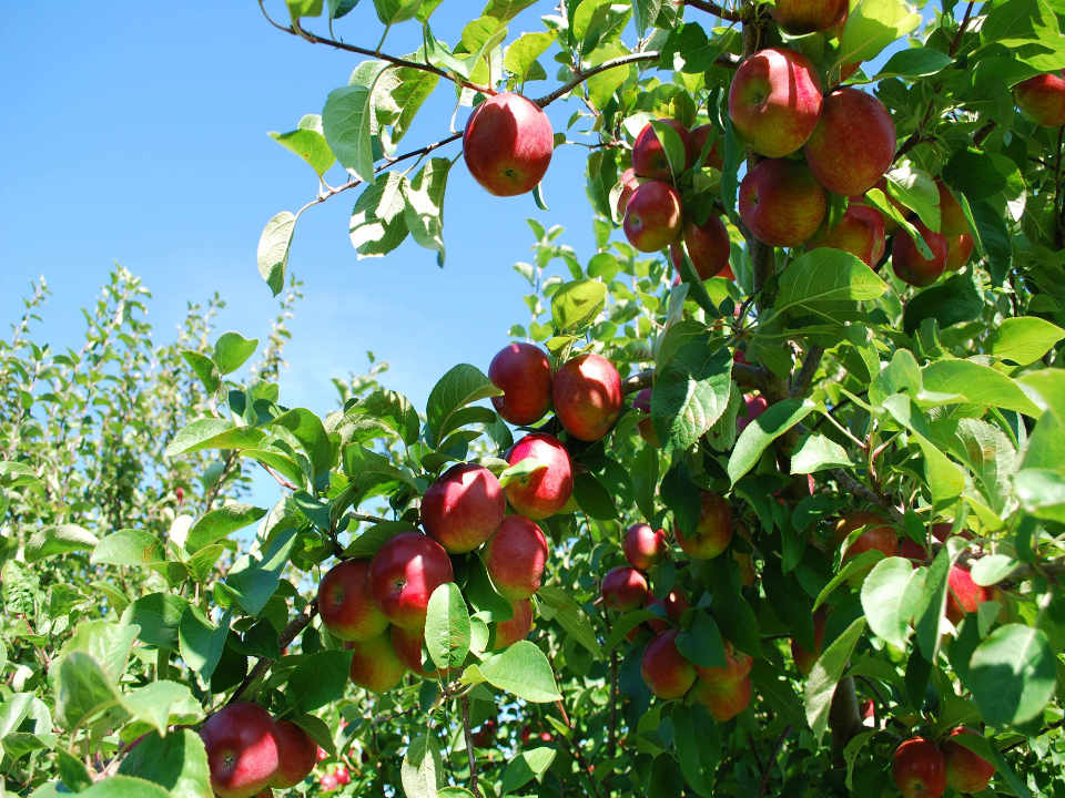U-pick apple shop alcohol cider Orchard Belliveau Orchard Memramcook NB Ulocal local product local purchase local product
