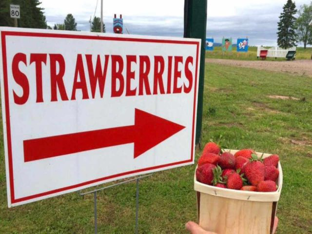 Autocueillette fraises framboises Walker's Strawberry Farm Lower Millstream NB Ulocal produit local achat local produit terroir