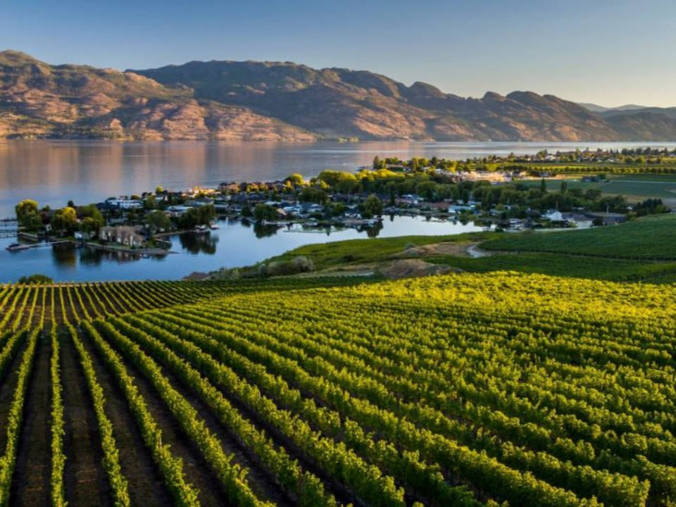 vineyard beautiful view of the vineyard and the lake quails gate kelowna british colombia canada ulocal local products local purchase local produce locavore tourist