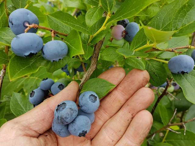 produce picking hand showing beautiful freshly picked blueberries bleuetière st-thomas saint-zotique quebec canada ulocal local products local purchase local produce locavore tourist