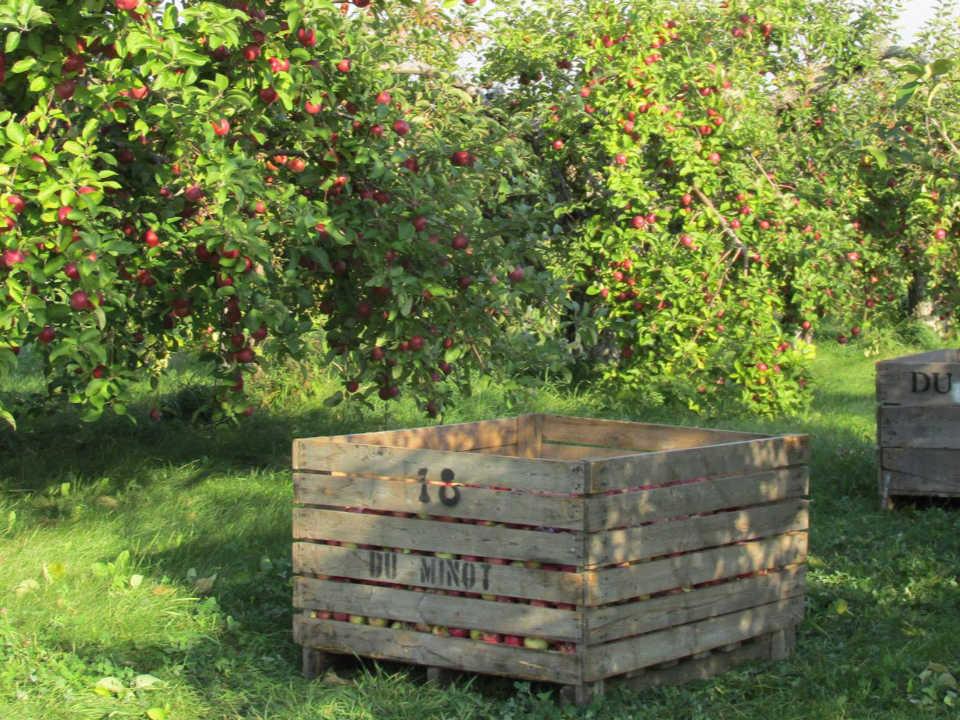 vignoble pommiers remplis de pommes et caisse de bois pour la cueillette cidrerie du minot hemmingford québec canada ulocal produits locaux achat local produits du terroir locavore touriste