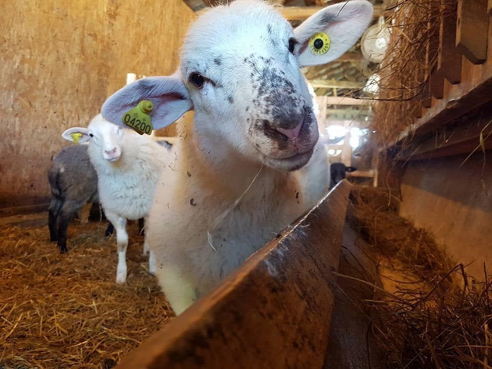 vente de viande petit agneau blanc avec ses frères ferme d'artagneau napierville quebec canada ulocal produits locaux achat local produits du terroir locavore touriste