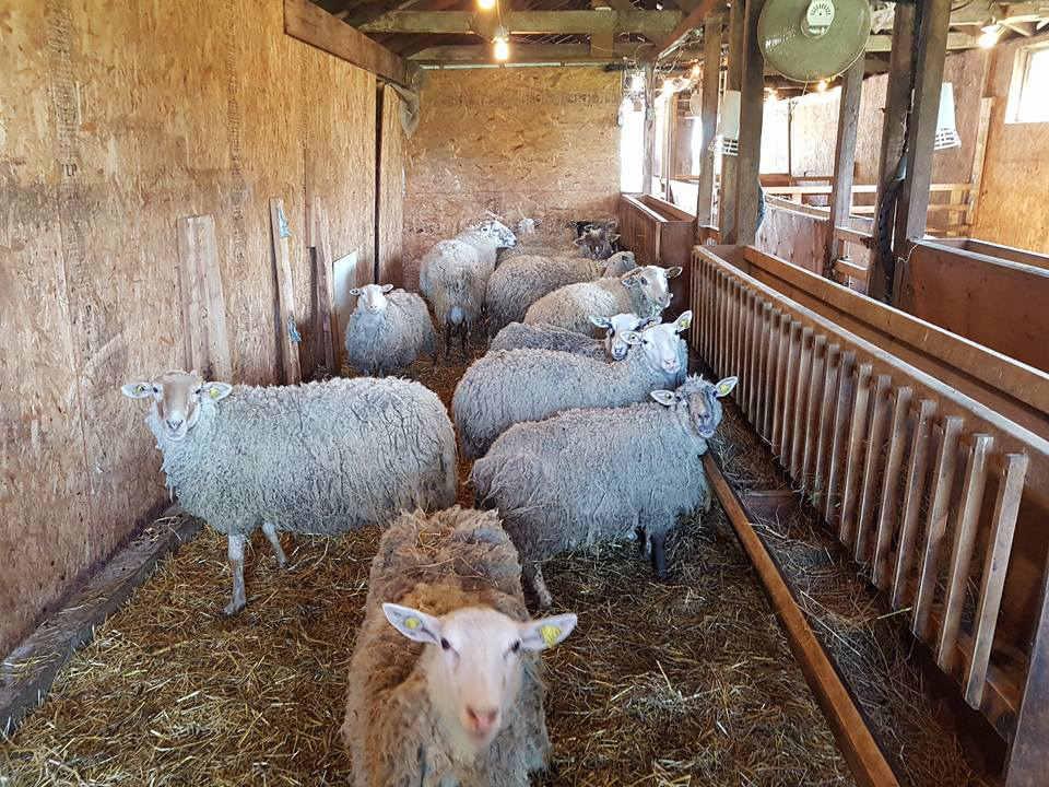 vente de viande moutons dans leur enclos ferme d'artagneau napierville quebec canada ulocal produits locaux achat local produits du terroir locavore touriste