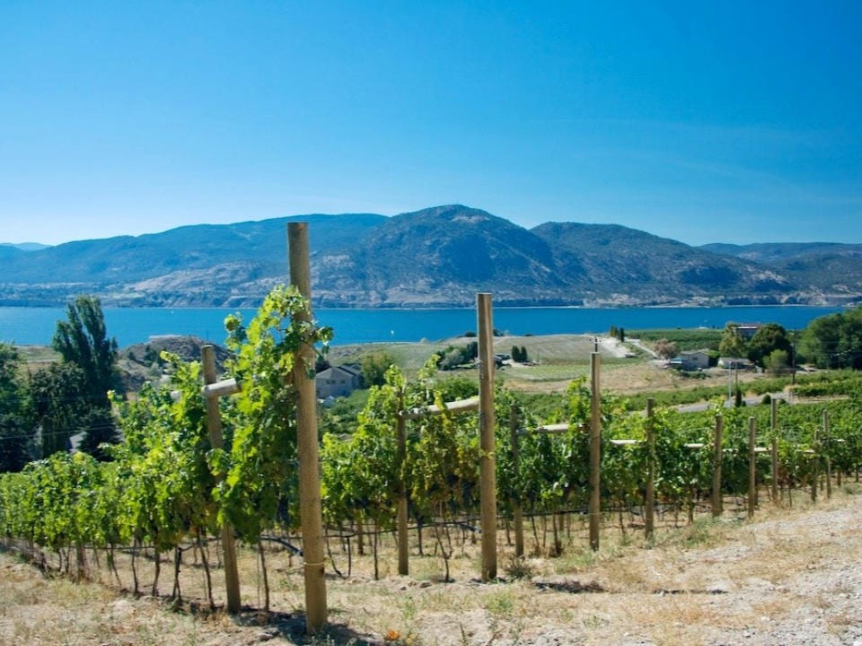 vineyard beautiful view of the vineyard and the lake laughing stock vineyards penticton british colombia canada ulocal local products local purchase local produce locavore tourist