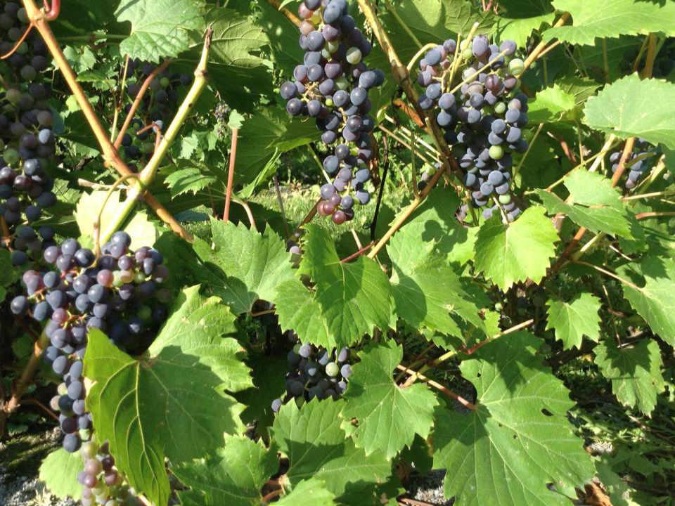 Vignoble alcool alimentation Le Chateau de la Grange Varennes Québec ulocal produit local achat local produit du terroir