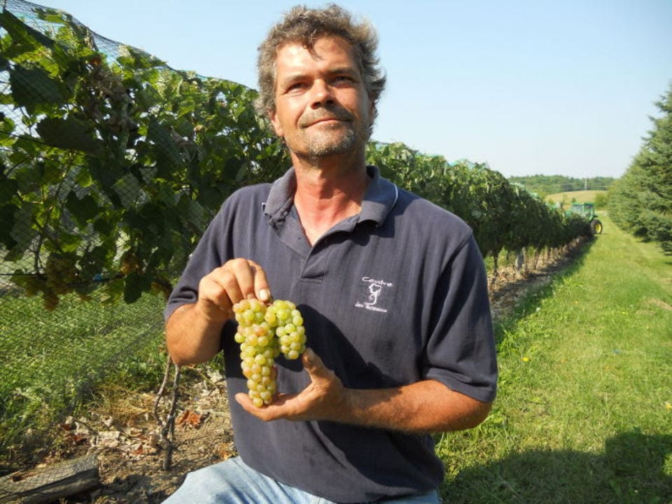 produce picking produce markets owner in the vineyards shows a nice bunch of green grapes ready to be picked in season le frugivore saint-urbain-premier quebec canada ulocal local products local purchase local produce locavore tourist