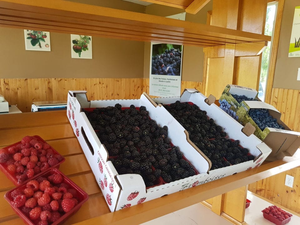 produce picking blackberries raspberry blueberries in boxes and ready for those who want to come to picking le jardin fruitier sherbrooke quebec canada ulocal local products local purchase local produce locavore tourist