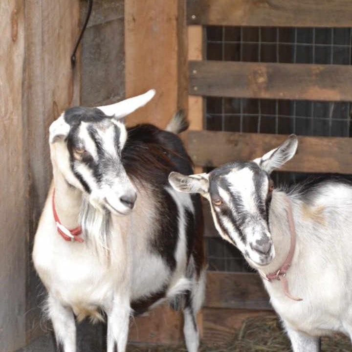 Fromagerie chèvres Midnight Goat Farm Huntington Vermont États-Unis Ulocal produit local achat local