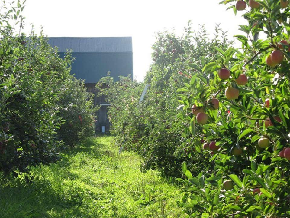 autoceuillette pommiers remplis de pommes et vieille grange au bout de l'allée cidrerie et distillerie c.e. petch hemmingford québec canada ulocal produits locaux achat local produits du terroir locavore touriste