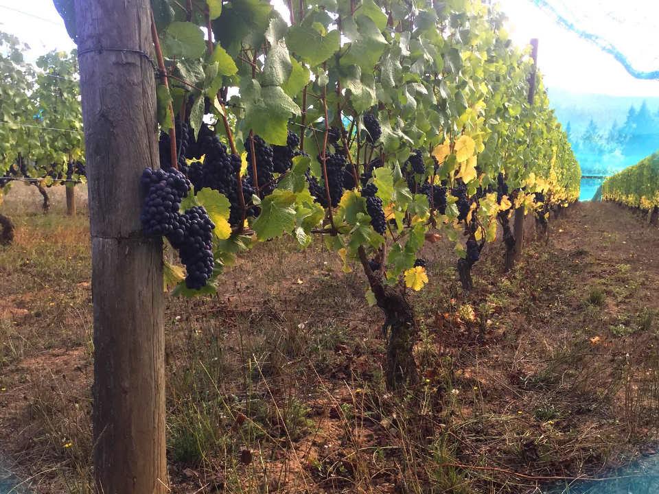 vignoble grappes de raisin sur les vignes venturi-schulze vineyards cobble hill colombie britannique canada ulocal produits locaux achat local produits du terroir locavore touriste