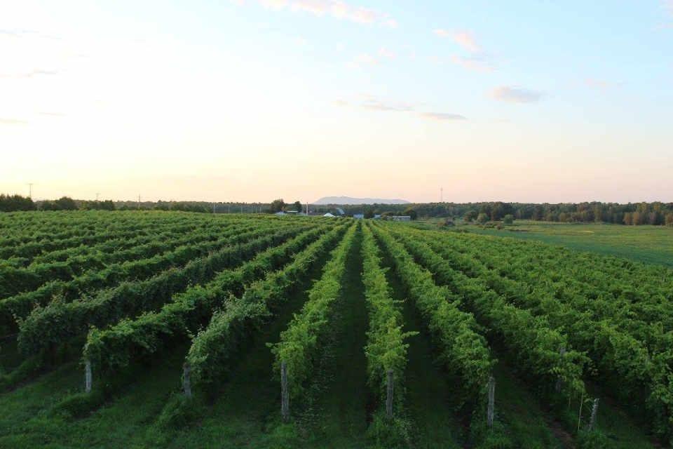 vignoble alcool alimentation Vignoble de la Bauge Brigham Québec ulocal produit local achat local produit du terroir