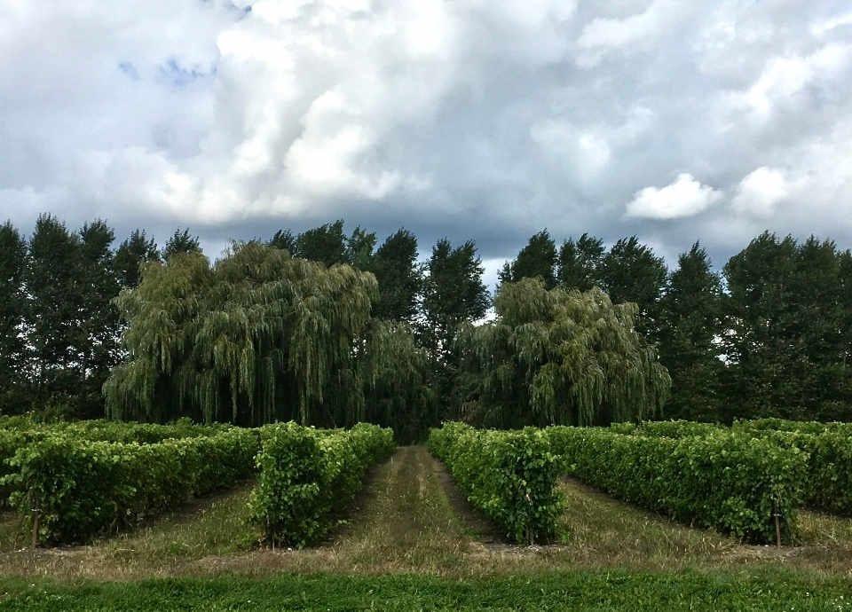 Vignoble alcool alimentation Vignoble de l'Orpailleur Dunham Québec Ulocal produit local achat local produit du terroir